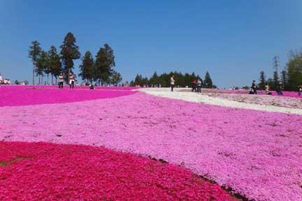 埼玉・秩父の芝桜