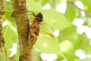 埼玉県営北浦和公園で鳴く蝉