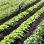 野菜畑を耕す独身男性