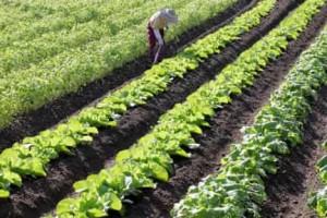 野菜畑を耕す農家独身男性