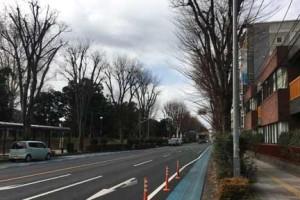 浦和・所沢線のケヤキ並木