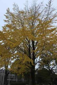 黄色に色づくイチョウの木
