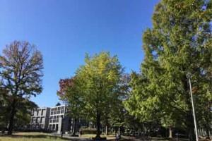 北浦和公園のイチョウの木