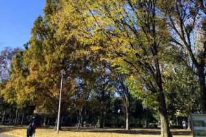 北浦和公園ケヤキの紅葉