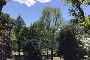 新緑が芽吹く北浦和公園の木