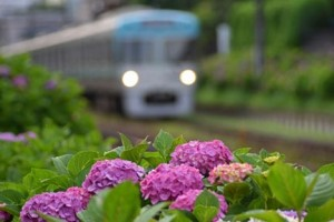 電車と梅雨の紫陽花